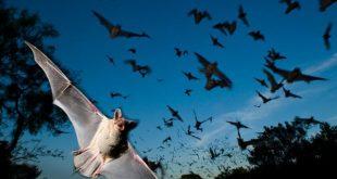 خفاش /المنتصف