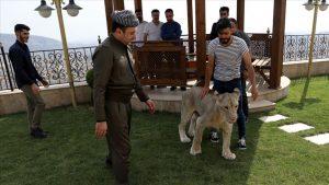 عراقي-اسد/ المنتصف