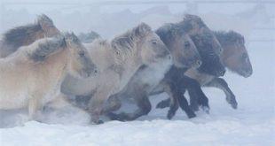 خيول روسية -المنتصف