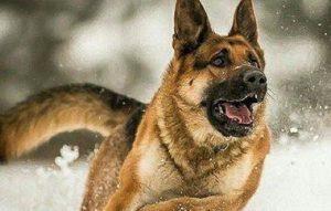 كلب الراعي -المنتصف