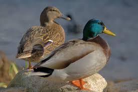طيور البط -المنتصف