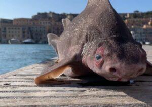 القرش الخنزير - المنتصف